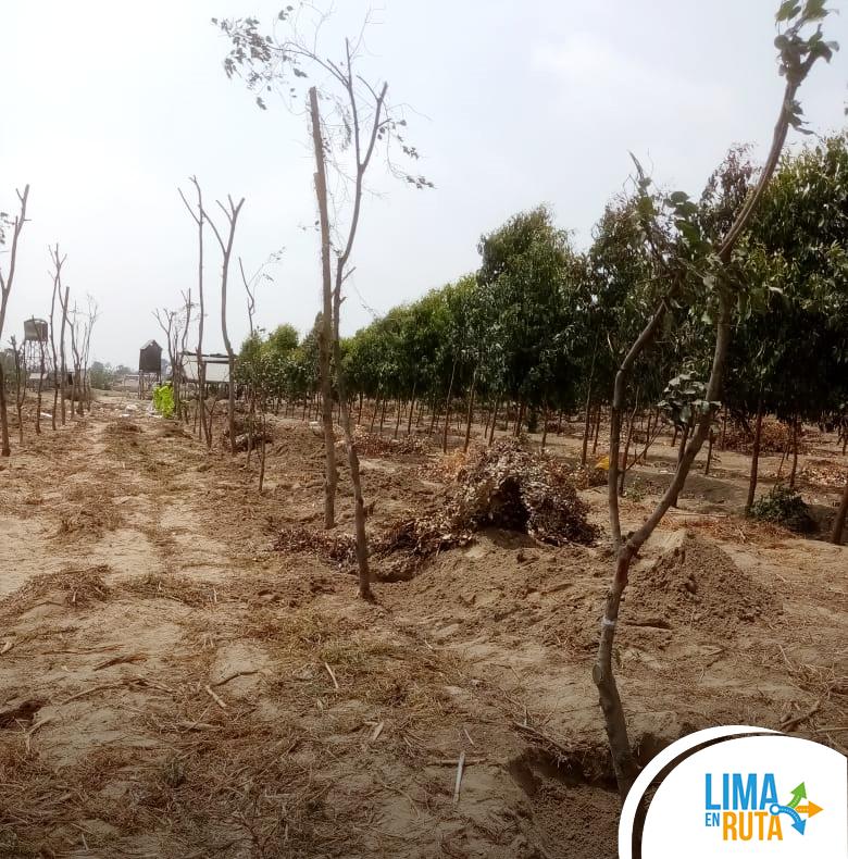 Reubicamos más de 100 árboles de El Derby